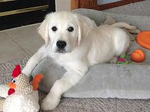 our english cream golden retriever puppy in Seattle
