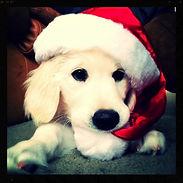 our english cream golden retriever puppy in Portland