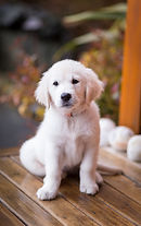 our english cream golden retriever puppy in Spokane