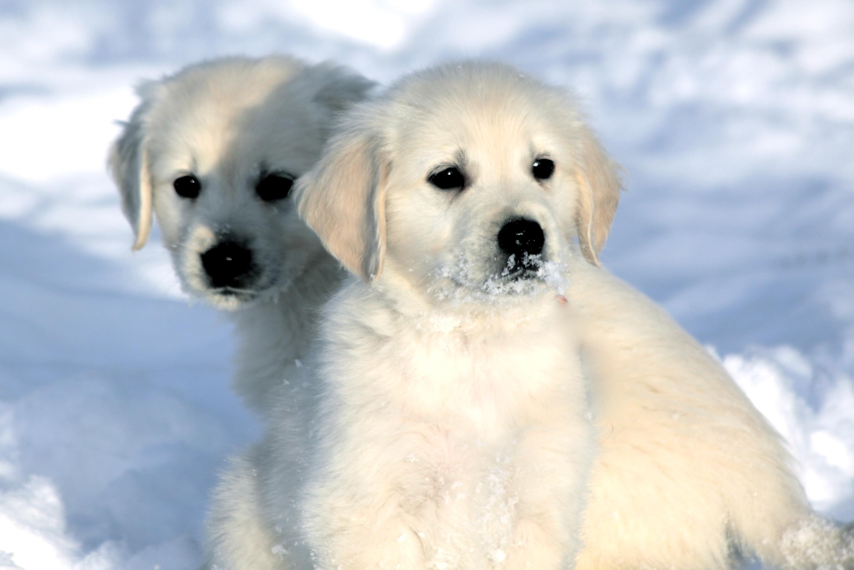 English Golden Retriever Puppies Sweet Cream Goldens
