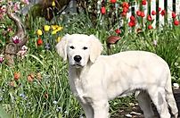 our english cream golden retriever puppy in Oregon