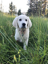 our english cream golden retriever puppy in Washington