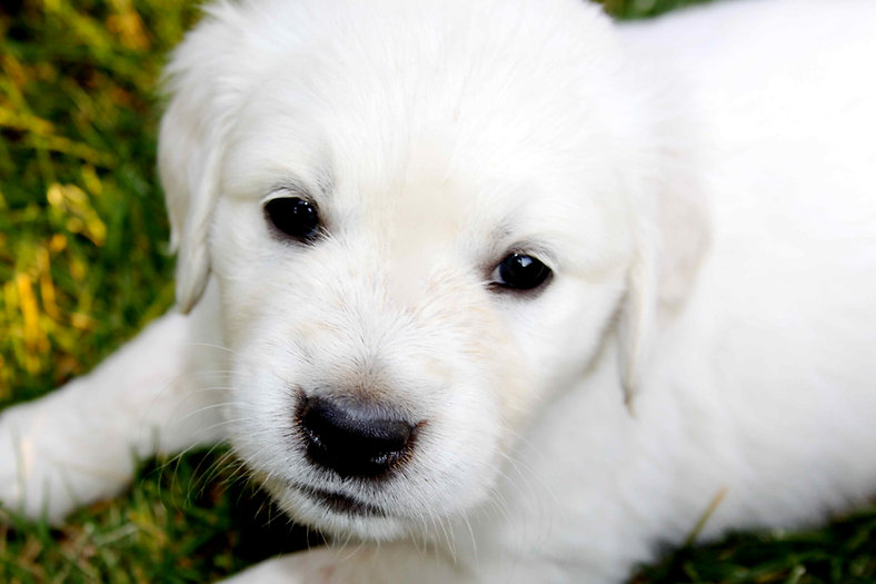 English cream golden retriever puppies in Washington. We look forward to helping you find your next companion!