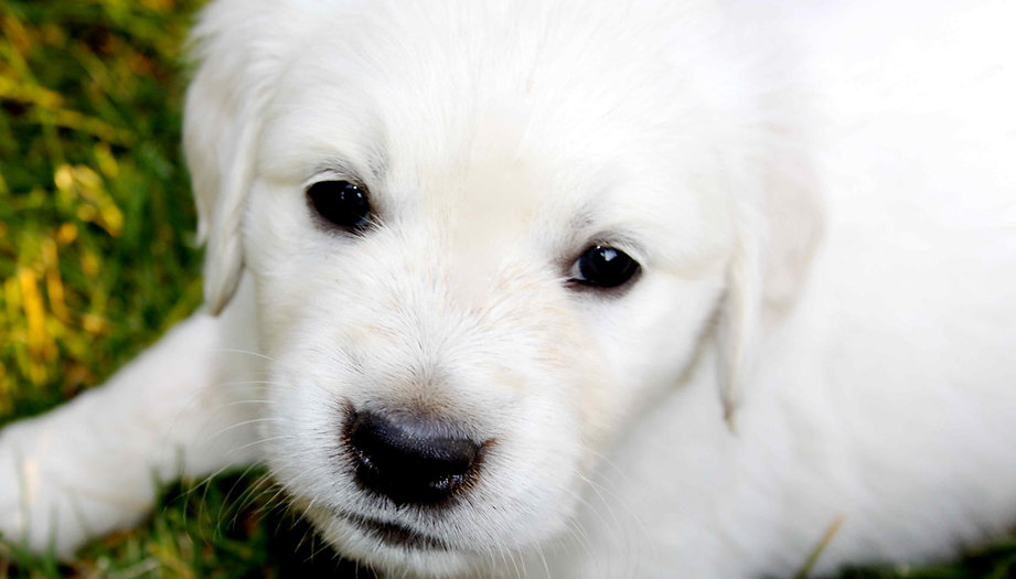 English Golden Retriever Puppies | Sweet Cream Goldens