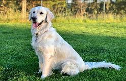 English golden retiever puppies. This is beautifu Opal.