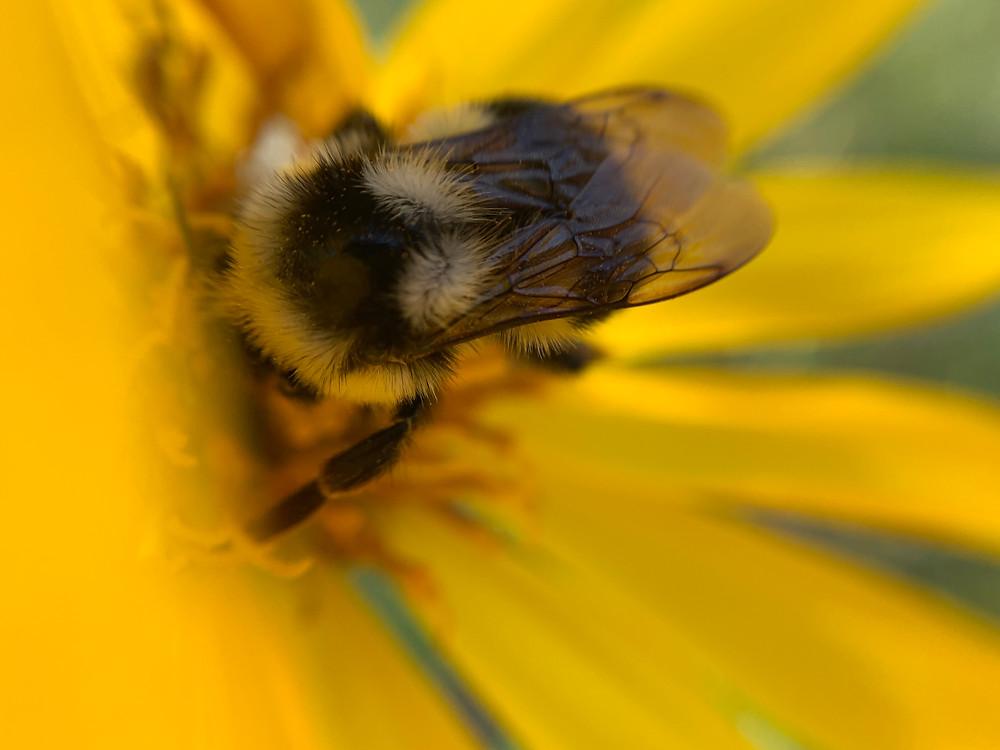 Image of Bee and Balsomroot Flower by: Liz Blackman