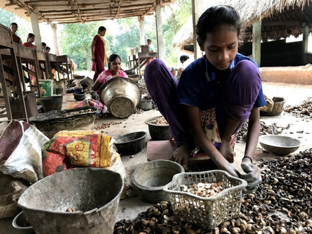 Women in India pay the price for cashew nut demand as vegan diets rise