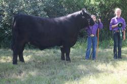 4-H Steer