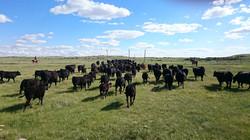 Trailing cattle on the Hawkeye ranch
