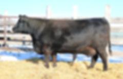 dbrl im hedy 56u, black angus, donor dams, cow, hawkeye ranching, bovine embryo donor