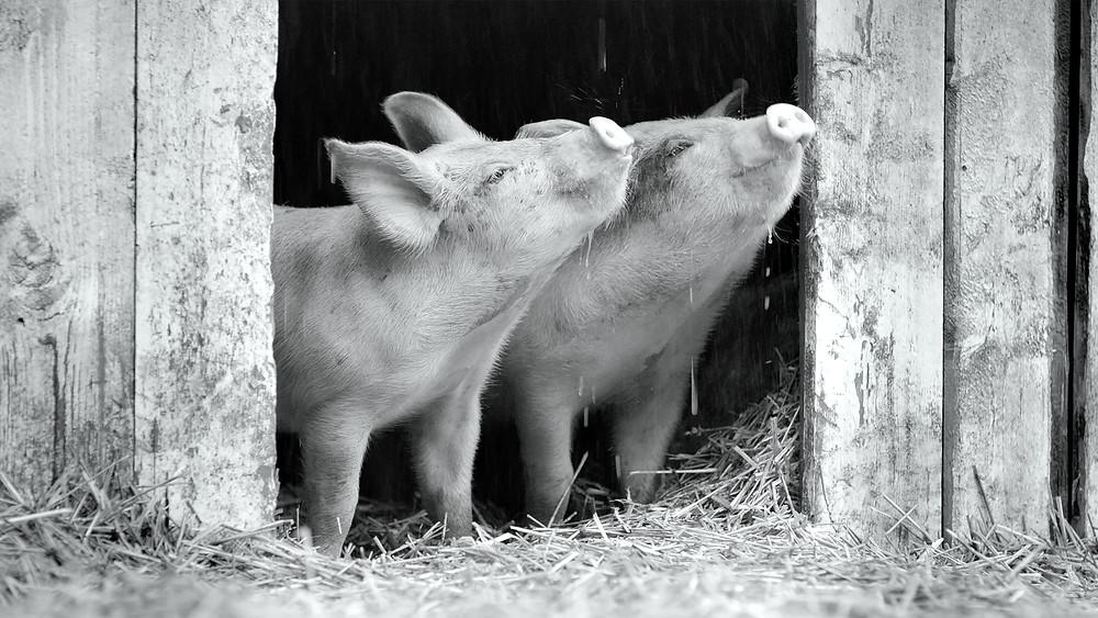 'Gunda' haalt zijn neus niet op voor schattige plaatjes (© Sant Usant, Victor Kossakovsky, Egil H Larsen)