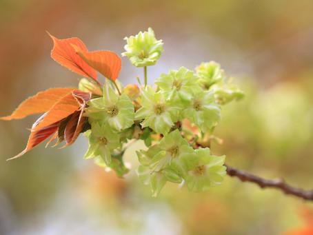 気づかれない可哀想な緑色の桜「御衣黄(ギョイコウ)」