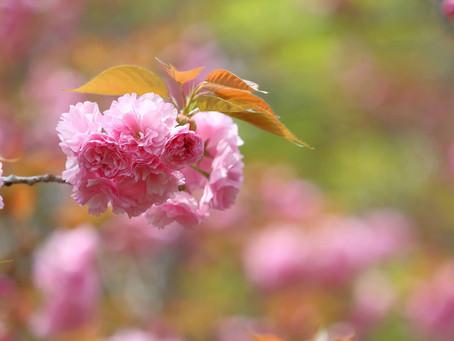 京都御所:「出水の小川」の里桜
