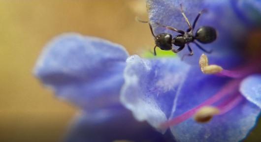 2-mm Ant on Blue Flower 2.JPG