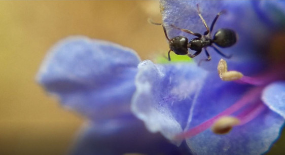 2-mm Ant on Blue Flower 2.JPG