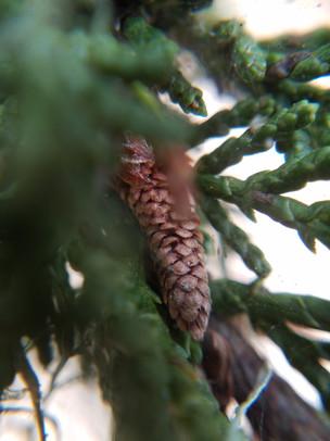 2mm - Pine Cones.jpg
