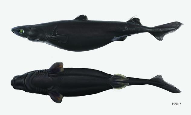Etmopterus baxteri