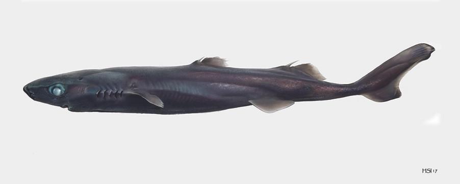 Etmopterus gracilispinis