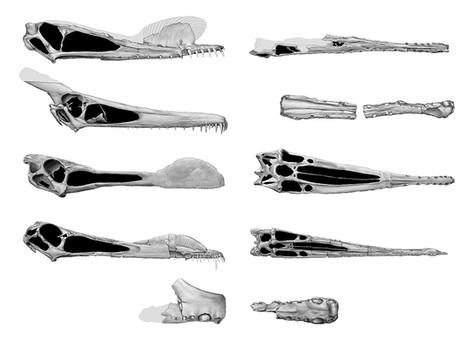Pterosaur skull study