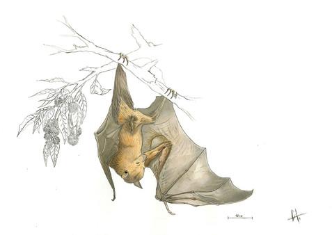 Pteropus vampyrus watercolour