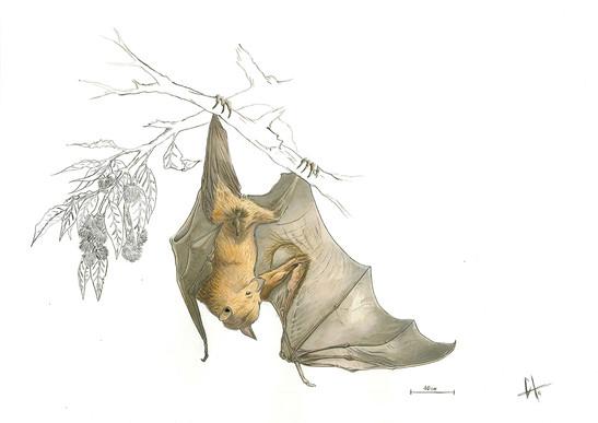 Pteropus vampyrus - acuarela