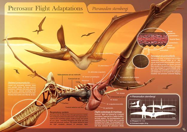 Pterosaur flight adaptations