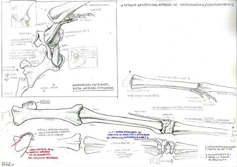 Tropeognathus forelimb skeleton study