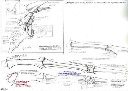 Estudio de la extremidad anterior de Tropeognathus mesembrinus
