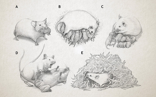 Maternal behaviours of the mouse