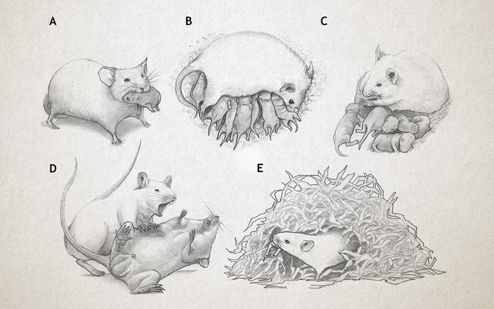 Conductas maternales del ratón