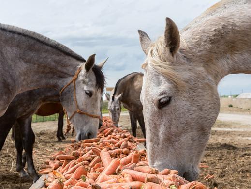Pourquoi les carottes sont-elles bonnes pour vos chevaux ?