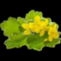 La Chélidoine, cette plante aux remèdes dermatologiques !