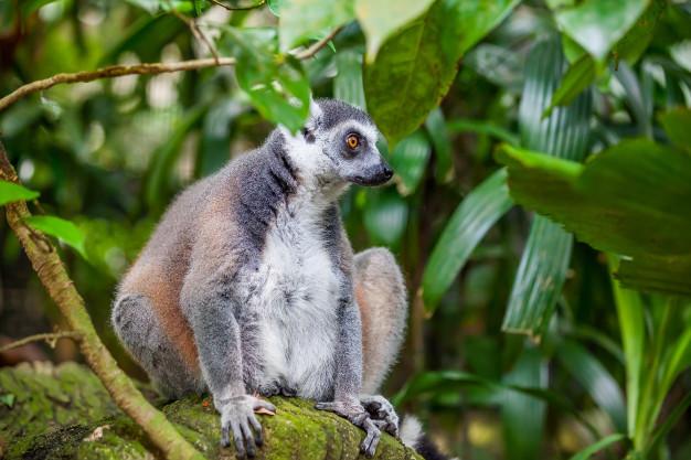 gros-plan-lemur-catta_130458-90.jpg