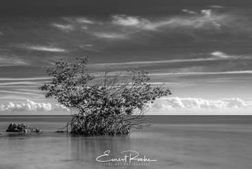 Fat Key Mangrove
