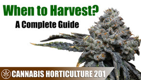 Is Your Cannabis Plant Ready For Harvest?
