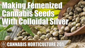 How to Produce Femenized Cannabis Seeds With Colloidal Silver