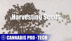 Cannabis Pro・Tech: Harvesting Cannabis Seeds