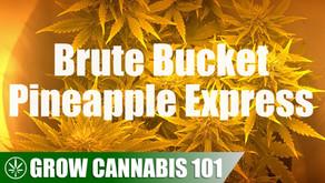 Brute Bucket Pineapple Express Timelapse Grow