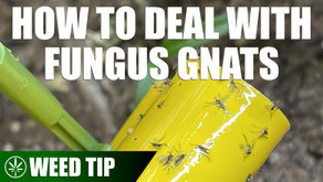 Removing Fungus Gnats from Your Cannabis Plants