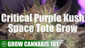 Space Tote Critical Purple Kush Timelapse Grow