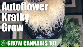 Cannabis Kratky Hydroponic Timelapse Grow from Seed to Harvest