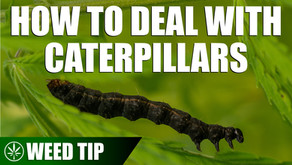 Removing Caterpillars from Your Cannabis Plants