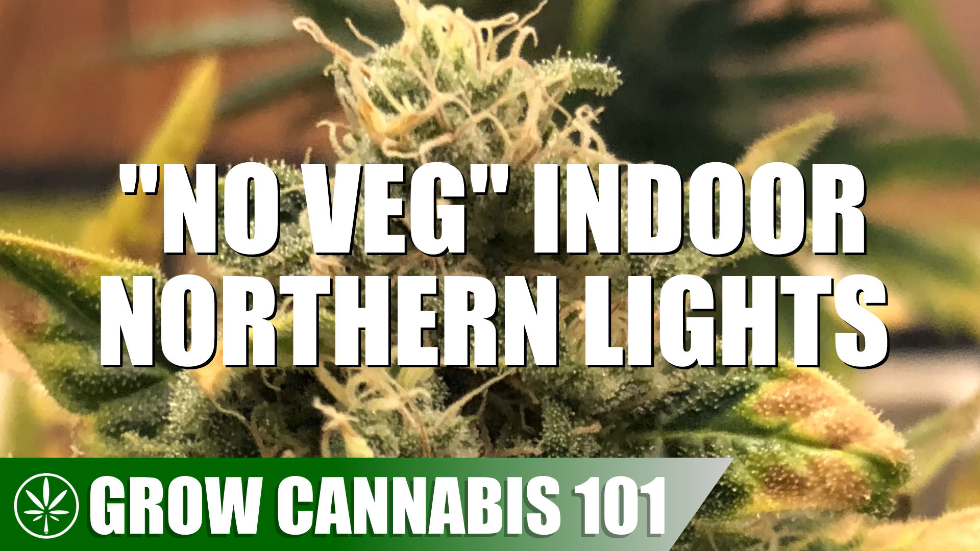 Grow Cannabis 101: Skipping The Vegetative Stage Northern Lights