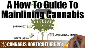 How Mainlining / Manifolding A Cannabis Plant Works