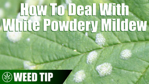 Removing White Powdery Mildew from Your Cannabis Plants