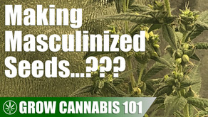 Converting a Male Cannabis Plant Into a Hermaphrodite...?
