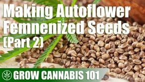 Using One Autoflower Cannabis Plant to Make Some Femenized Autoflower Seeds