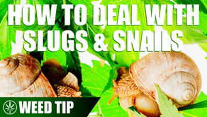 Removing Slugs and Snails from You Cannabis Plants