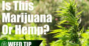 The Differences Between Hemp & Marijuana