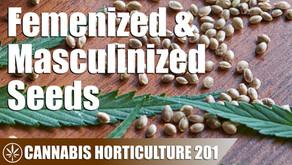 How Do Femenized Cannabis Seeds Work?